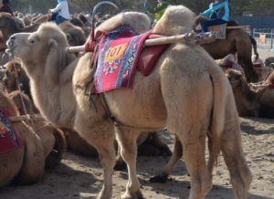 Our Camel Ride